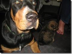 08-31-07 Maximo meets Yogi 7week pom pup 002